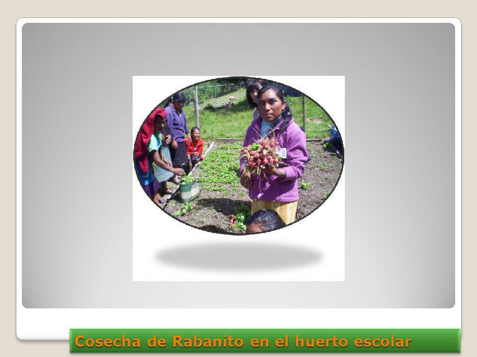 Cosecha de Rabanito en el huerto escolar