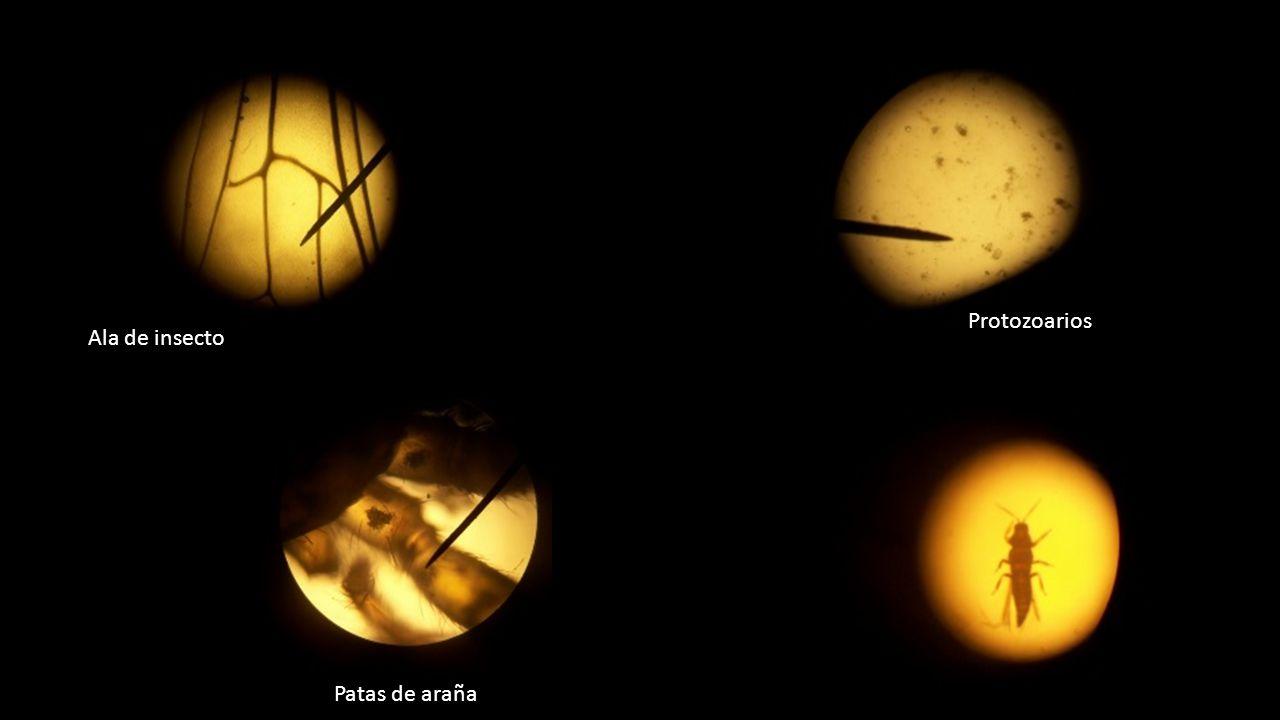 Protozoarios Ala de insecto Patas de araña