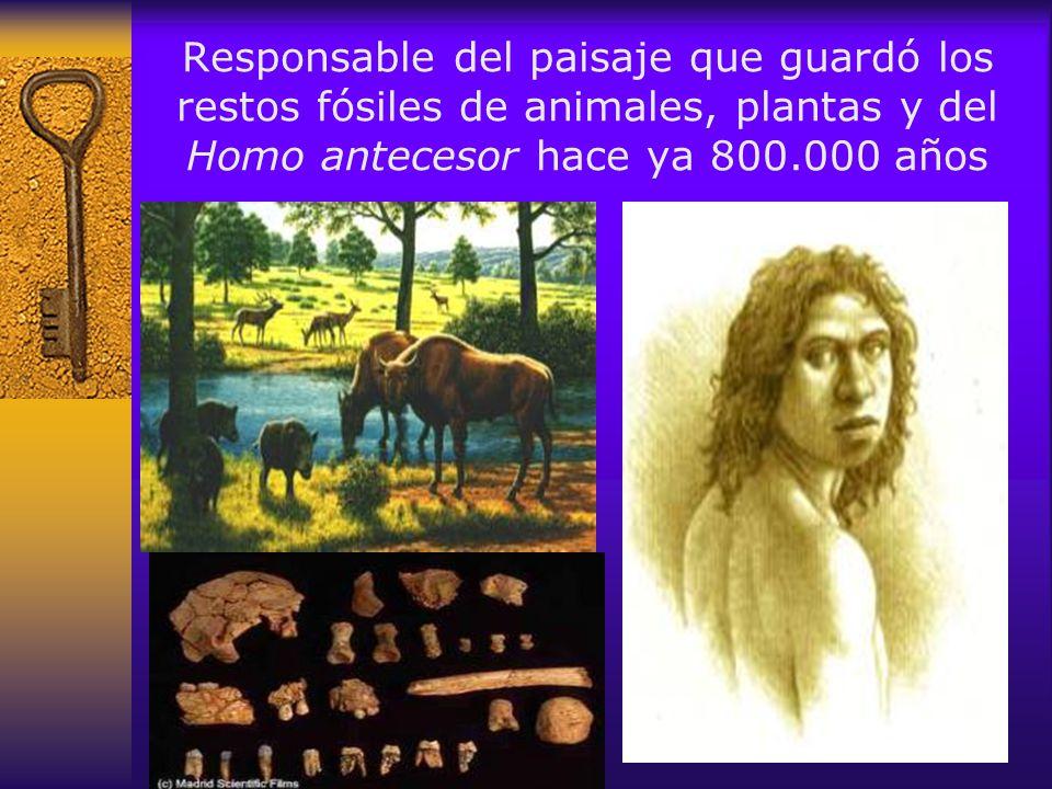 Responsable del paisaje que guardó los restos fósiles de animales, plantas y del Homo antecesor hace ya 800.000 años