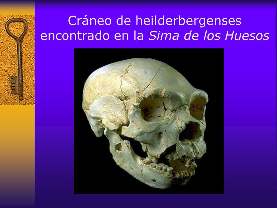 Cráneo de heilderbergenses encontrado en la Sima de los Huesos