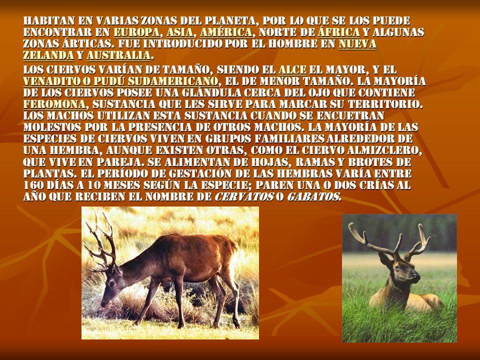 Habitan en varias zonas del planeta, por lo que se los puede encontrar en Europa, Asia, América, norte de África y algunas zonas árticas. Fue introducido por el hombre en Nueva Zelanda y Australia.