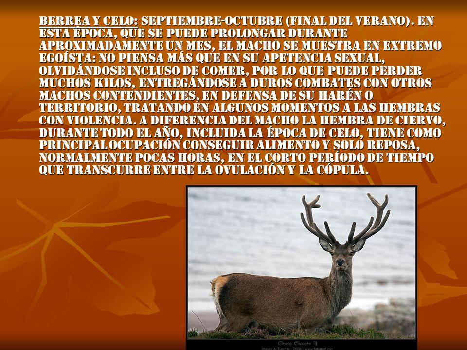 Berrea y celo: Septiembre-octubre (final del verano)