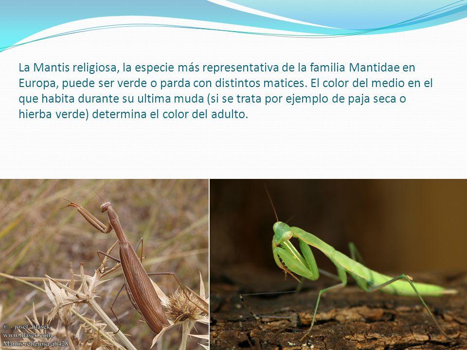 La Mantis religiosa, la especie más representativa de la familia Mantidae en Europa, puede ser verde o parda con distintos matices.