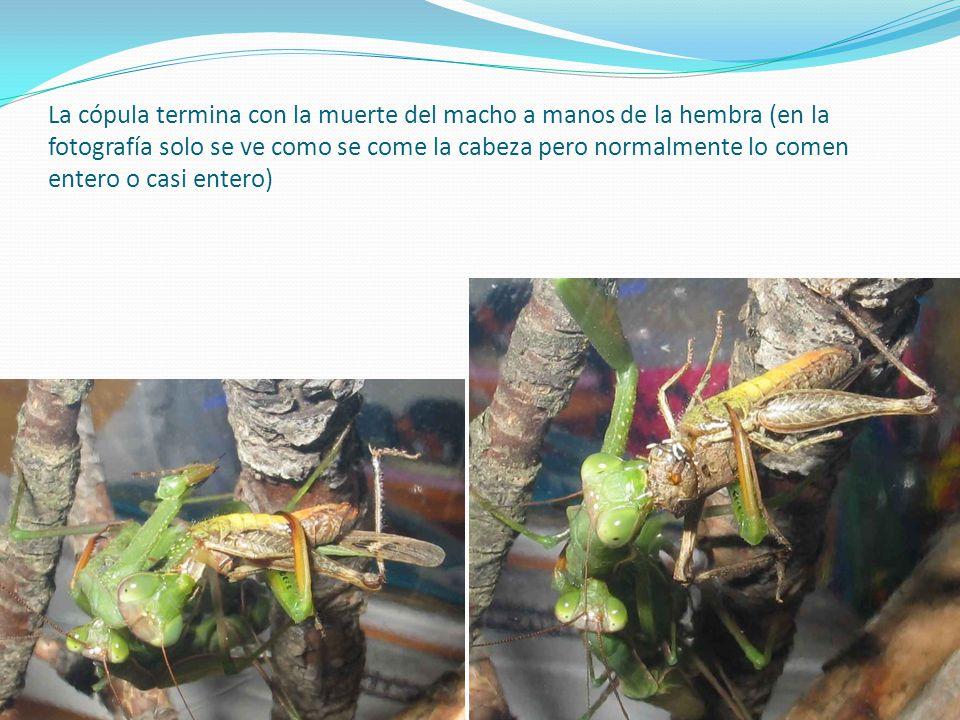 La cópula termina con la muerte del macho a manos de la hembra (en la fotografía solo se ve como se come la cabeza pero normalmente lo comen entero o casi entero)