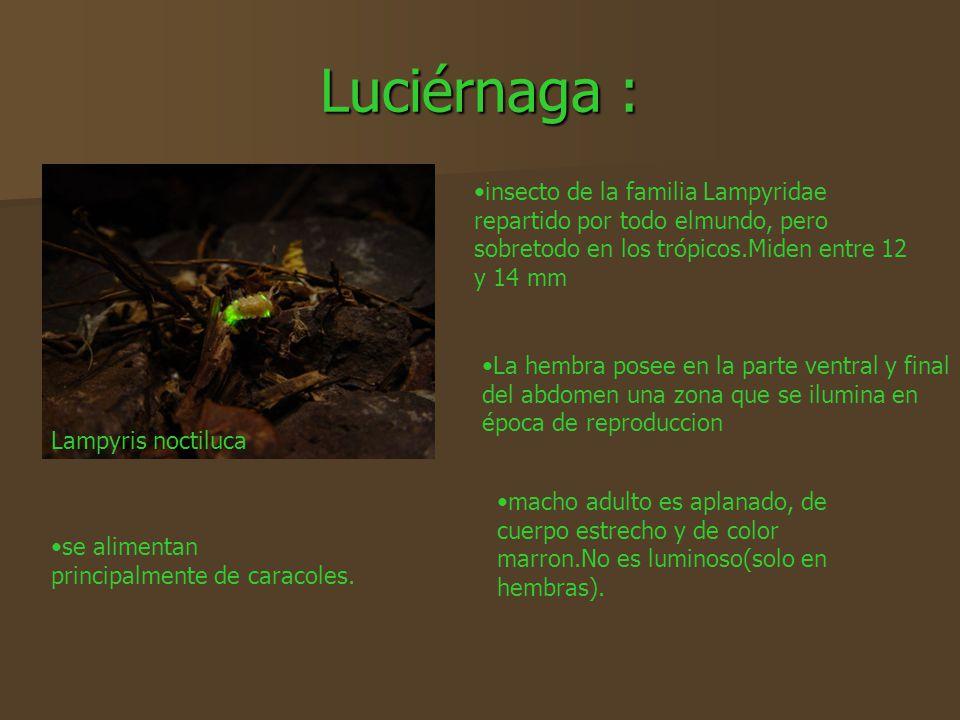 Luciérnaga : insecto de la familia Lampyridae repartido por todo elmundo, pero sobretodo en los trópicos.Miden entre 12 y 14 mm.