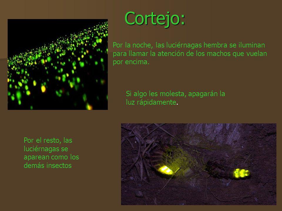 Cortejo: Por la noche, las luciérnagas hembra se iluminan para llamar la atención de los machos que vuelan por encima.
