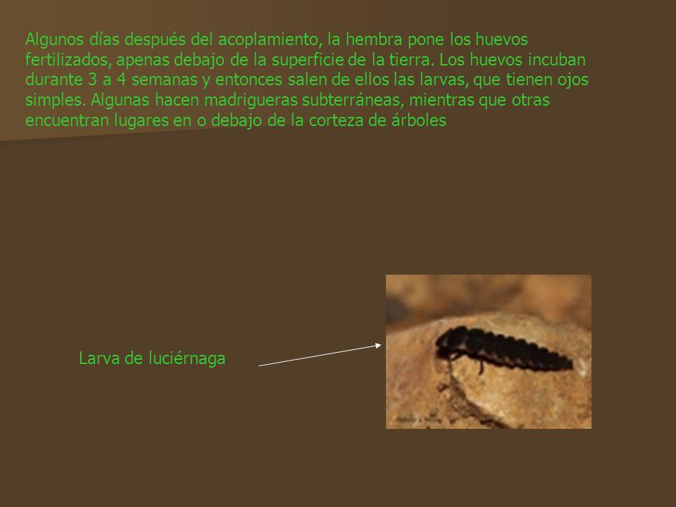 Algunos días después del acoplamiento, la hembra pone los huevos fertilizados, apenas debajo de la superficie de la tierra. Los huevos incuban durante 3 a 4 semanas y entonces salen de ellos las larvas, que tienen ojos simples. Algunas hacen madrigueras subterráneas, mientras que otras encuentran lugares en o debajo de la corteza de árboles