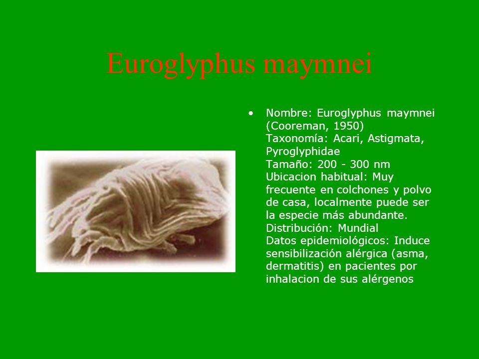 Euroglyphus maymnei