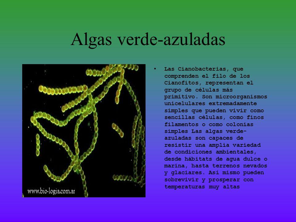 Algas verde-azuladas