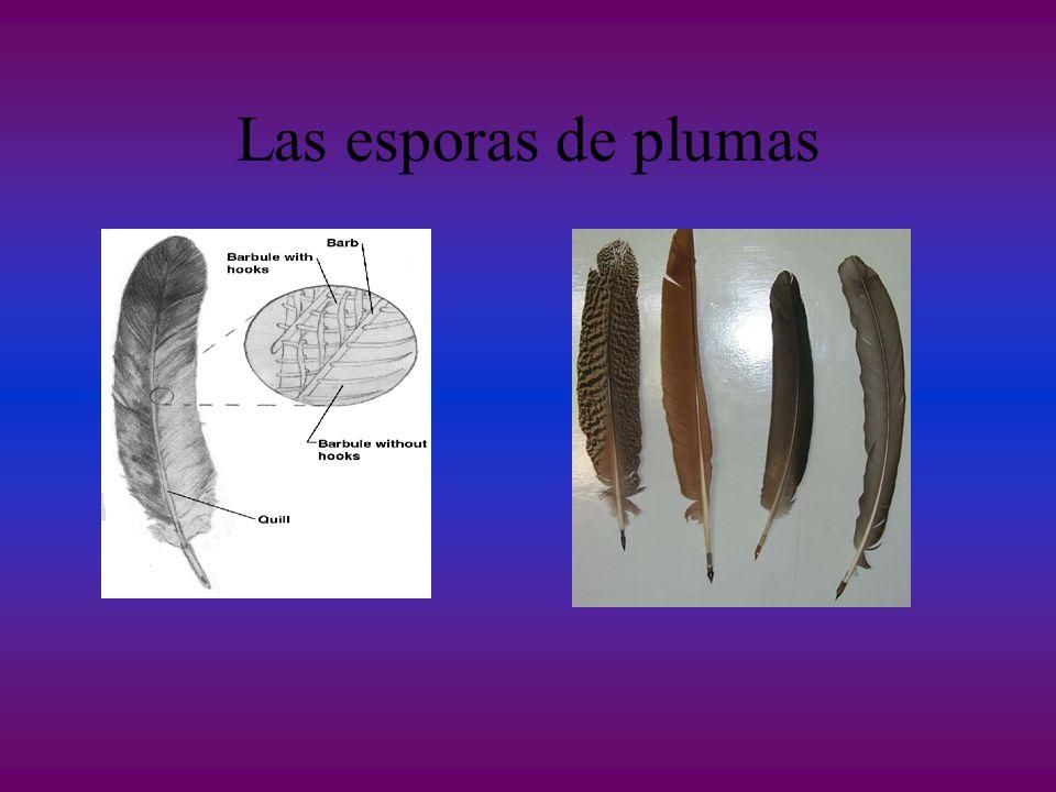 Las esporas de plumas