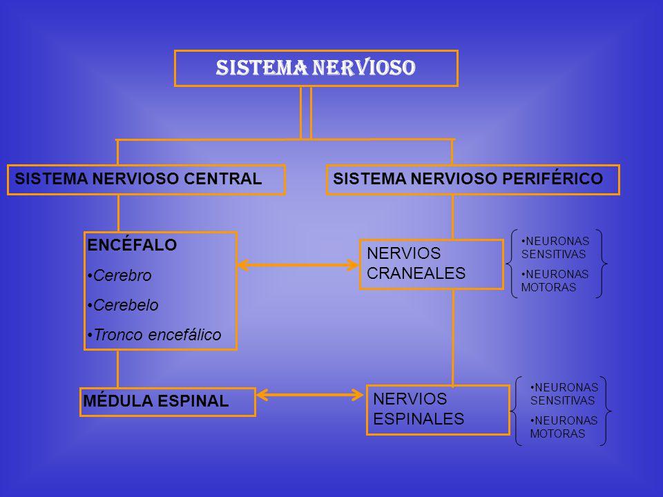 Sistema Nervioso SISTEMA NERVIOSO CENTRAL SISTEMA NERVIOSO PERIFÉRICO