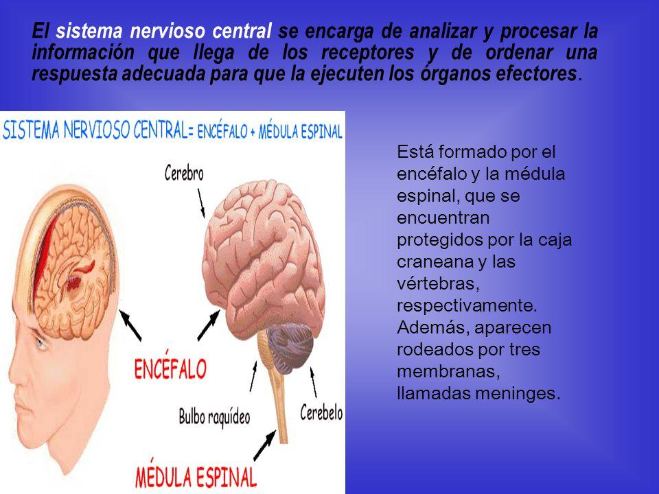 El sistema nervioso central se encarga de analizar y procesar la información que llega de los receptores y de ordenar una respuesta adecuada para que la ejecuten los órganos efectores.