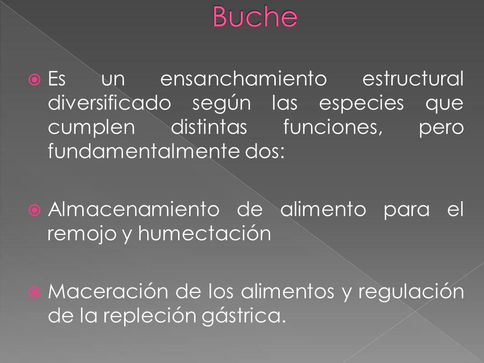 Buche Es un ensanchamiento estructural diversificado según las especies que cumplen distintas funciones, pero fundamentalmente dos: