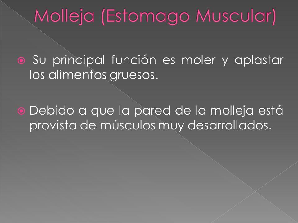 Molleja (Estomago Muscular)