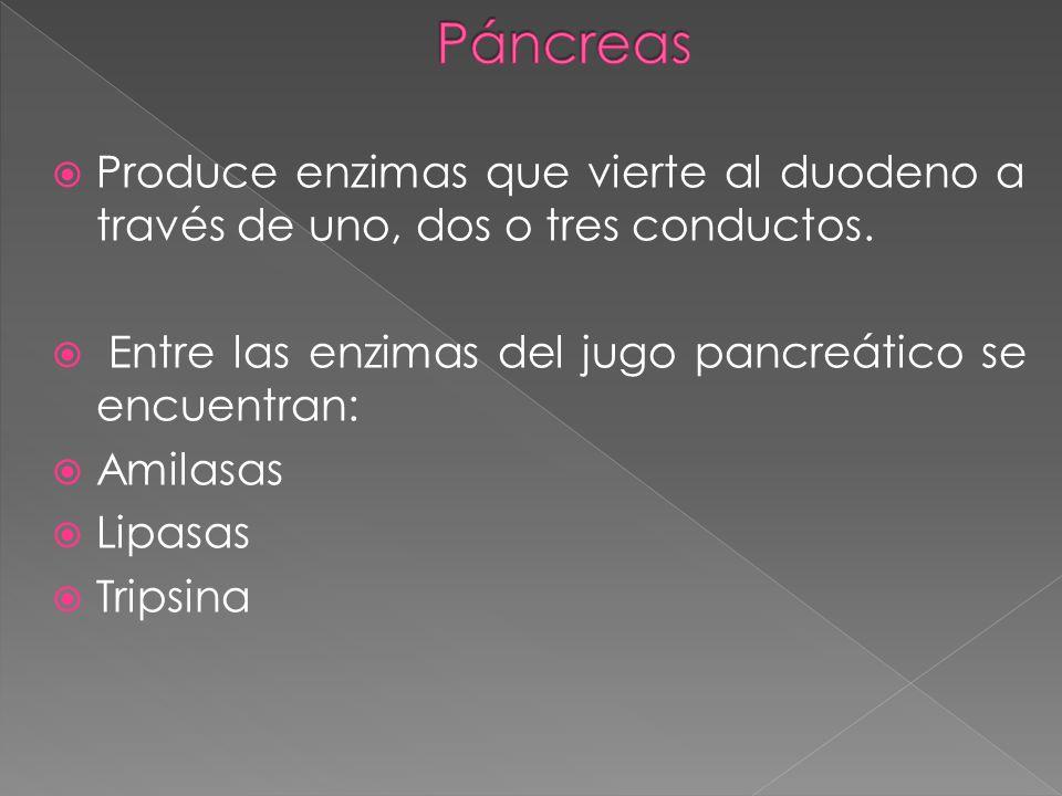 Páncreas Produce enzimas que vierte al duodeno a través de uno, dos o tres conductos. Entre las enzimas del jugo pancreático se encuentran: