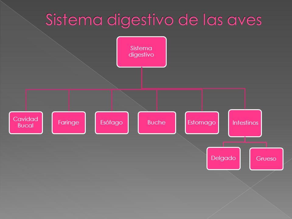 Sistema digestivo de las aves
