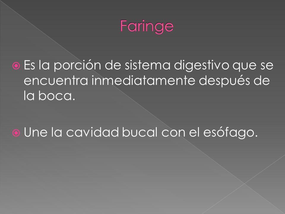 Faringe Es la porción de sistema digestivo que se encuentra inmediatamente después de la boca.