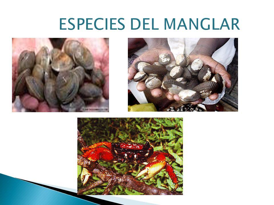 ESPECIES DEL MANGLAR