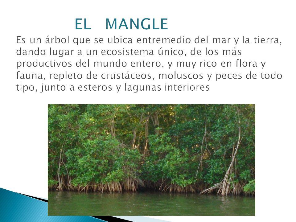 EL MANGLE Es un árbol que se ubica entremedio del mar y la tierra, dando lugar a un ecosistema único, de los más productivos del mundo entero, y muy rico en flora y fauna, repleto de crustáceos, moluscos y peces de todo tipo, junto a esteros y lagunas interiores