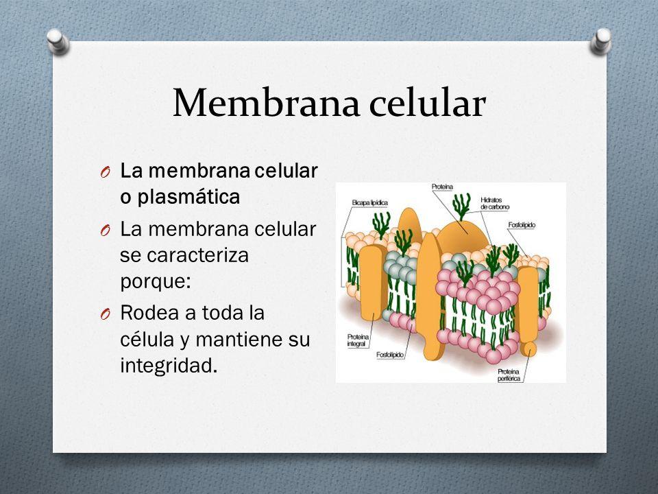 Membrana celular La membrana celular o plasmática