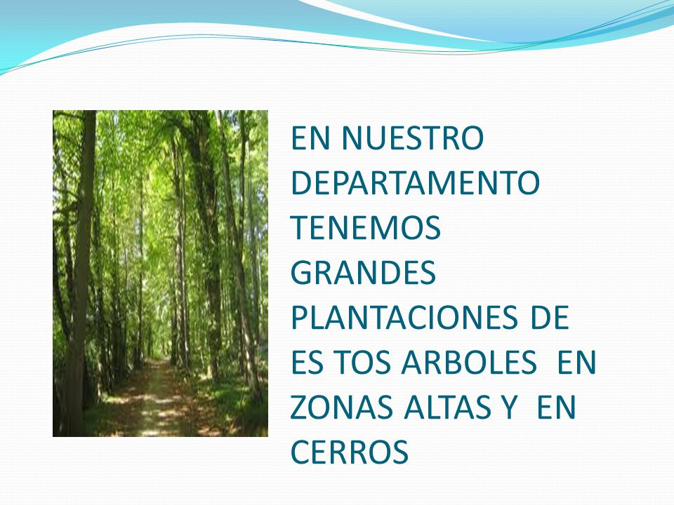 EN NUESTRO DEPARTAMENTO TENEMOS GRANDES PLANTACIONES DE ES TOS ARBOLES EN ZONAS ALTAS Y EN CERROS