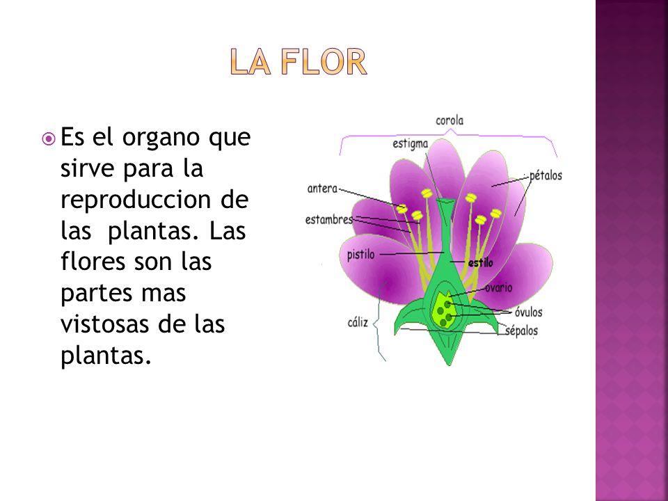 La flor Es el organo que sirve para la reproduccion de las plantas.