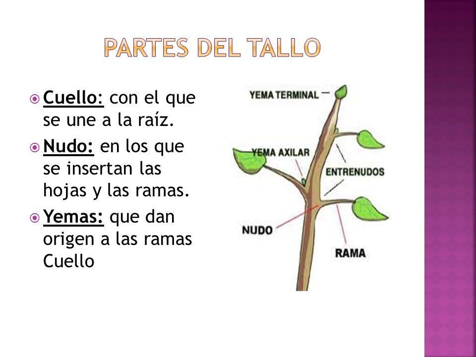 Partes del tallo Cuello: con el que se une a la raíz.