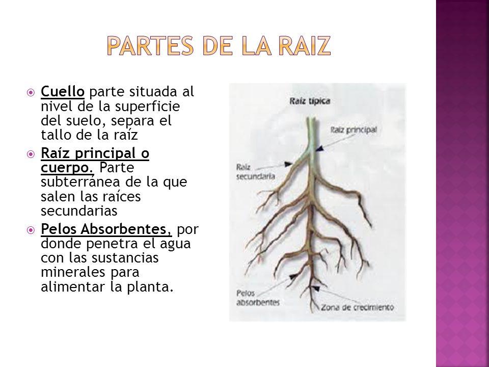 Partes de La raiz Cuello parte situada al nivel de la superficie del suelo, separa el tallo de la raíz.