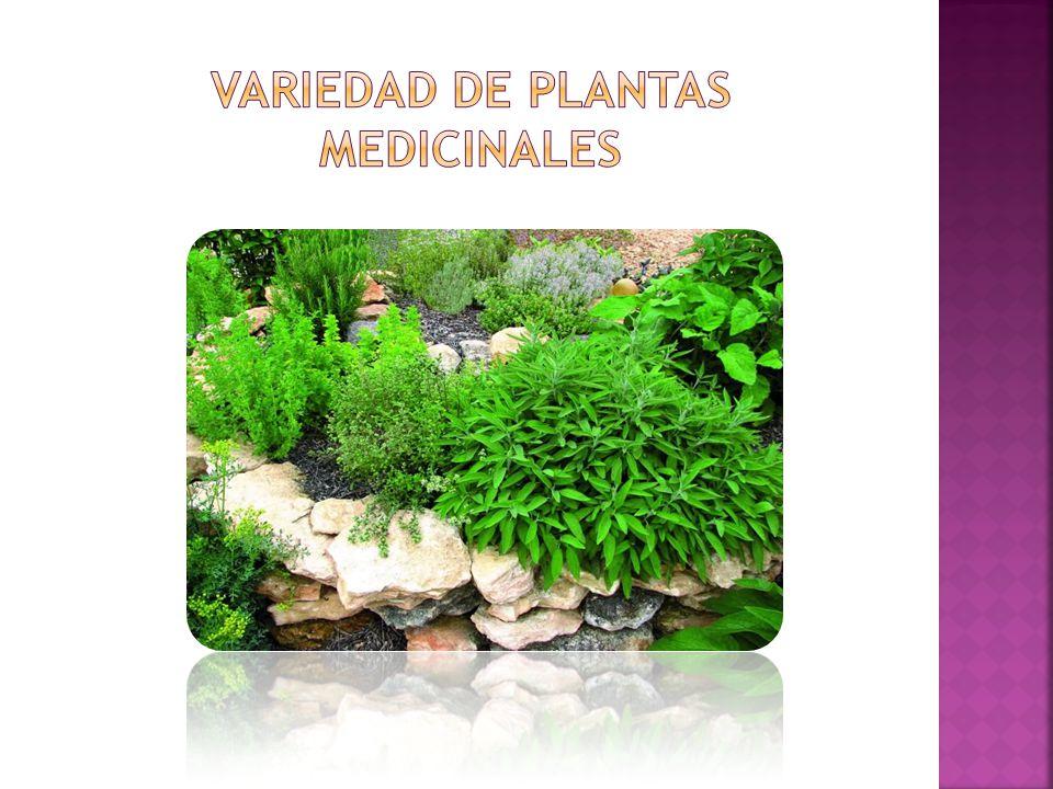 Variedad de plantas medicinales