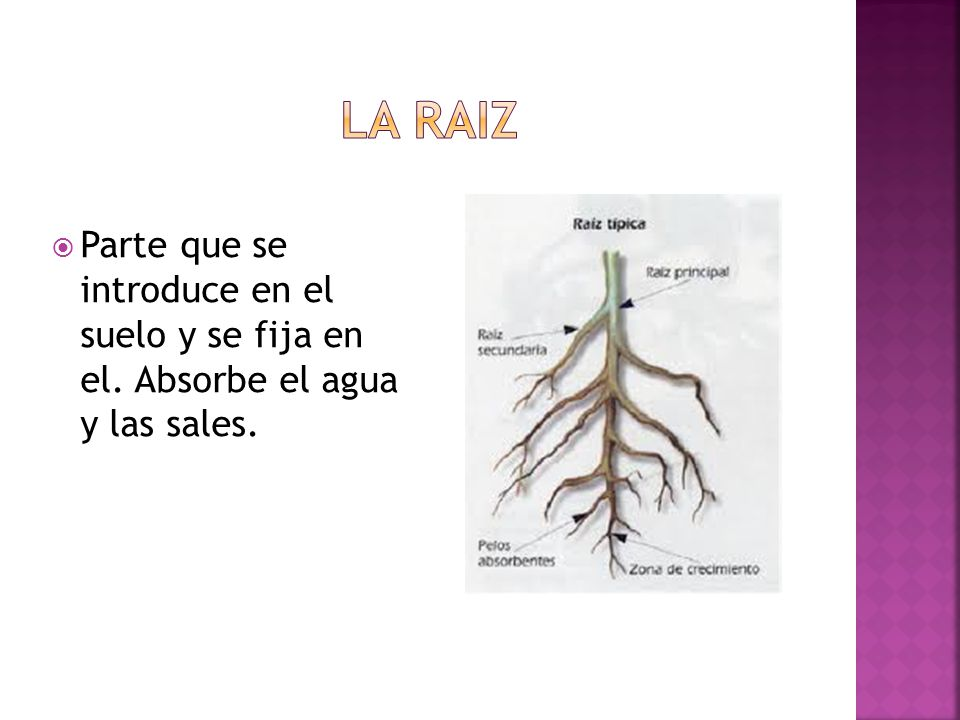 La raiz Parte que se introduce en el suelo y se fija en el. Absorbe el agua y las sales.