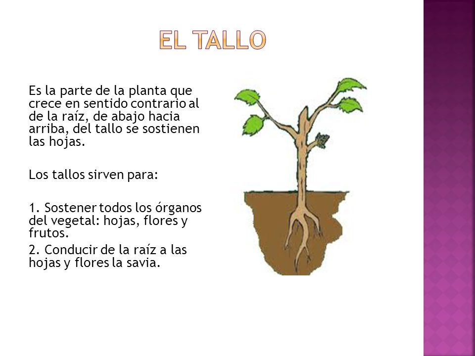 El tallo Es la parte de la planta que crece en sentido contrario al de la raíz, de abajo hacia arriba, del tallo se sostienen las hojas.