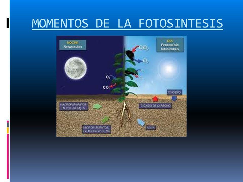 MOMENTOS DE LA FOTOSINTESIS