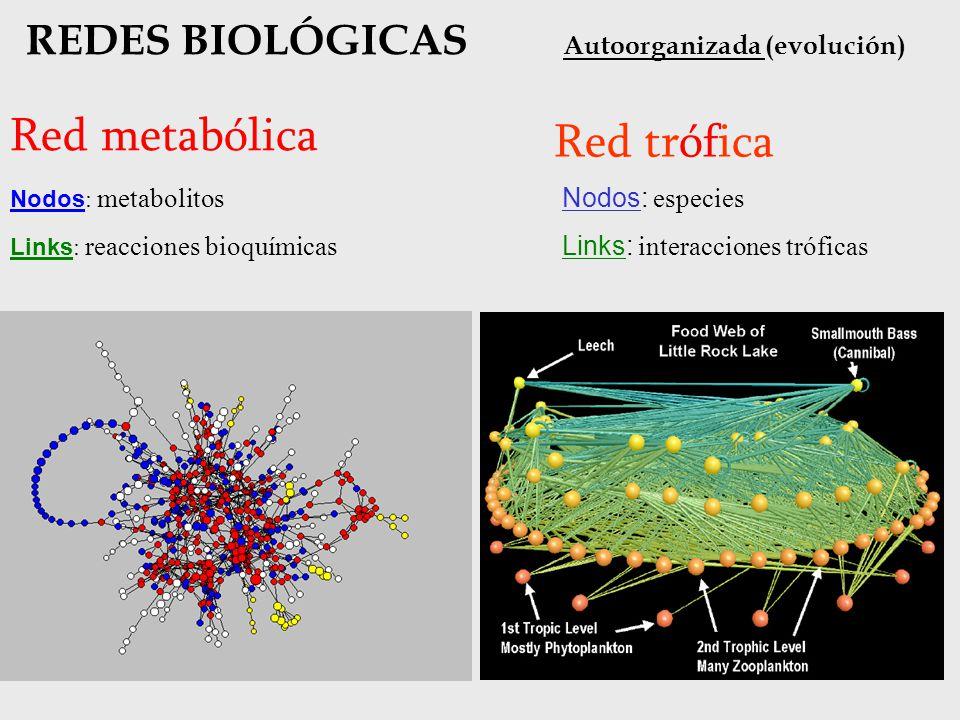 Red metabólica Red trófica REDES BIOLÓGICAS Autoorganizada (evolución)