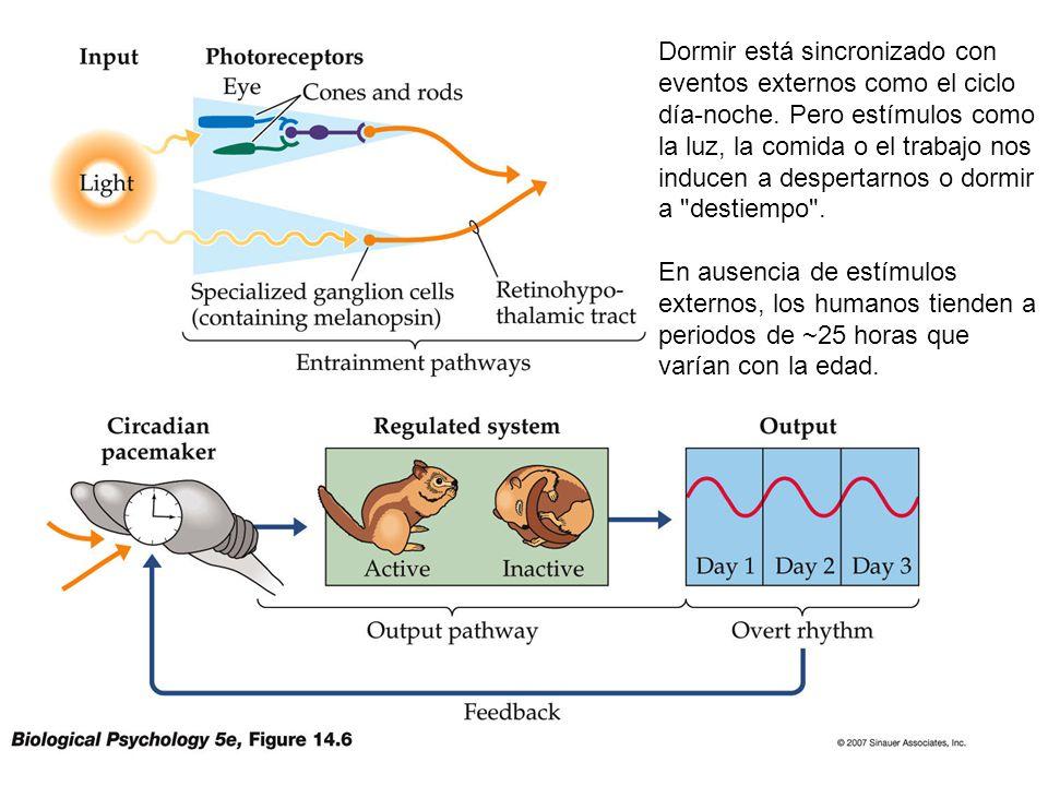 Dormir está sincronizado con eventos externos como el ciclo día-noche