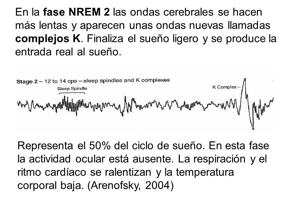 En la fase NREM 2 las ondas cerebrales se hacen más lentas y aparecen unas ondas nuevas llamadas complejos K. Finaliza el sueño ligero y se produce la entrada real al sueño.