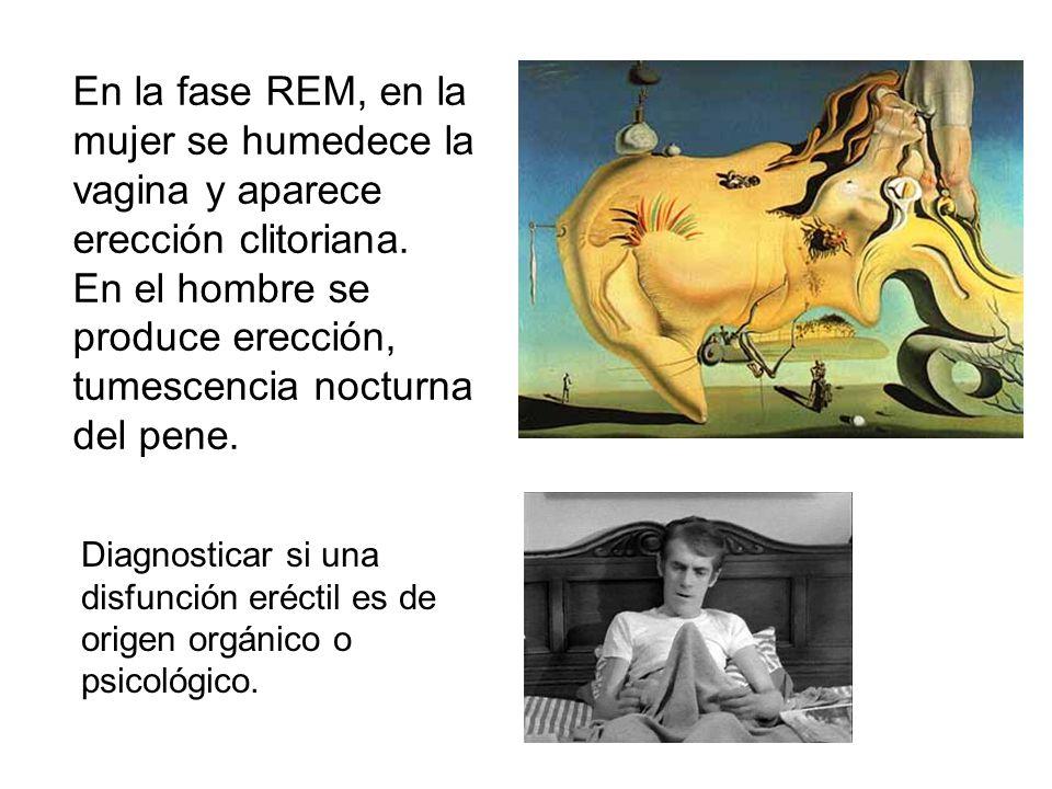 En el hombre se produce erección, tumescencia nocturna del pene.