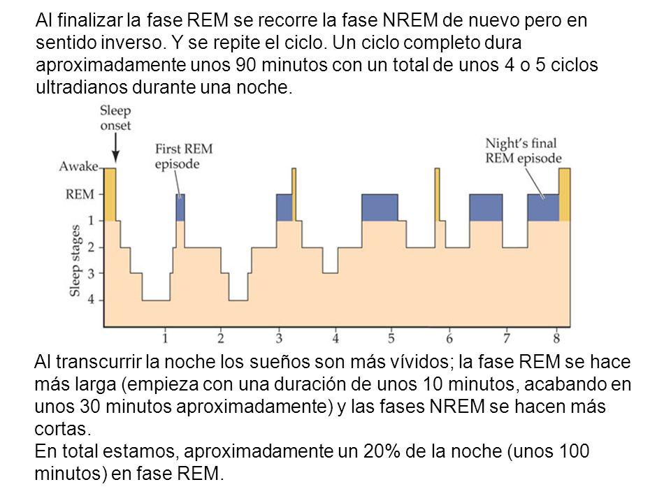 Al finalizar la fase REM se recorre la fase NREM de nuevo pero en sentido inverso. Y se repite el ciclo. Un ciclo completo dura aproximadamente unos 90 minutos con un total de unos 4 o 5 ciclos ultradianos durante una noche.