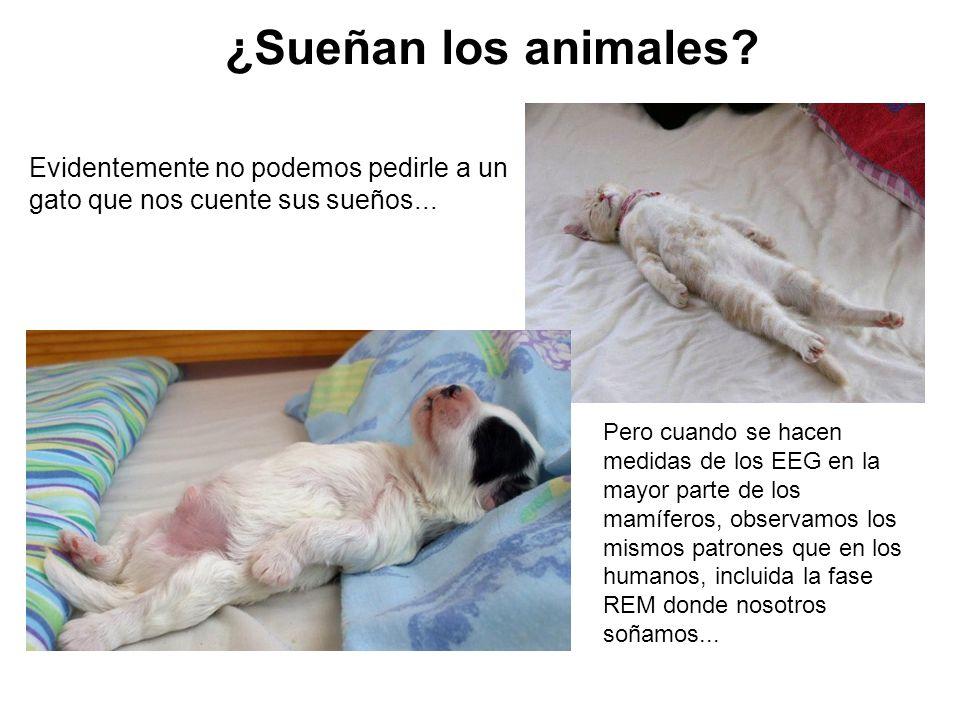 ¿Sueñan los animales Evidentemente no podemos pedirle a un gato que nos cuente sus sueños...