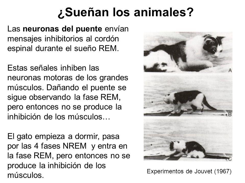 ¿Sueñan los animales Las neuronas del puente envían mensajes inhibitorios al cordón espinal durante el sueño REM.