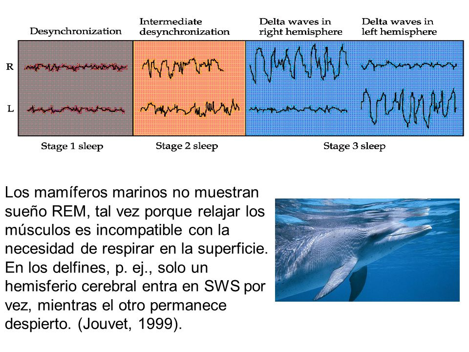 Los mamíferos marinos no muestran sueño REM, tal vez porque relajar los músculos es incompatible con la necesidad de respirar en la superficie.