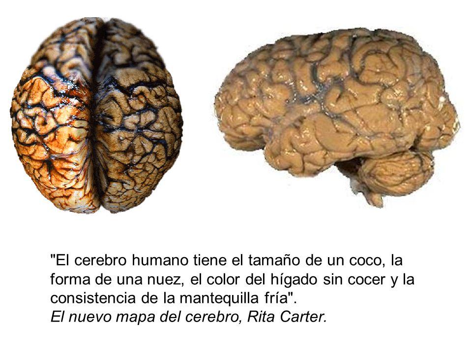 El cerebro humano tiene el tamaño de un coco, la forma de una nuez, el color del hígado sin cocer y la consistencia de la mantequilla fría .