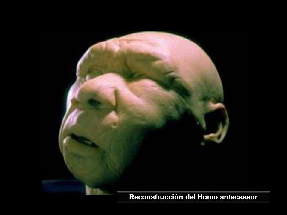 Reconstrucción del Homo antecessor
