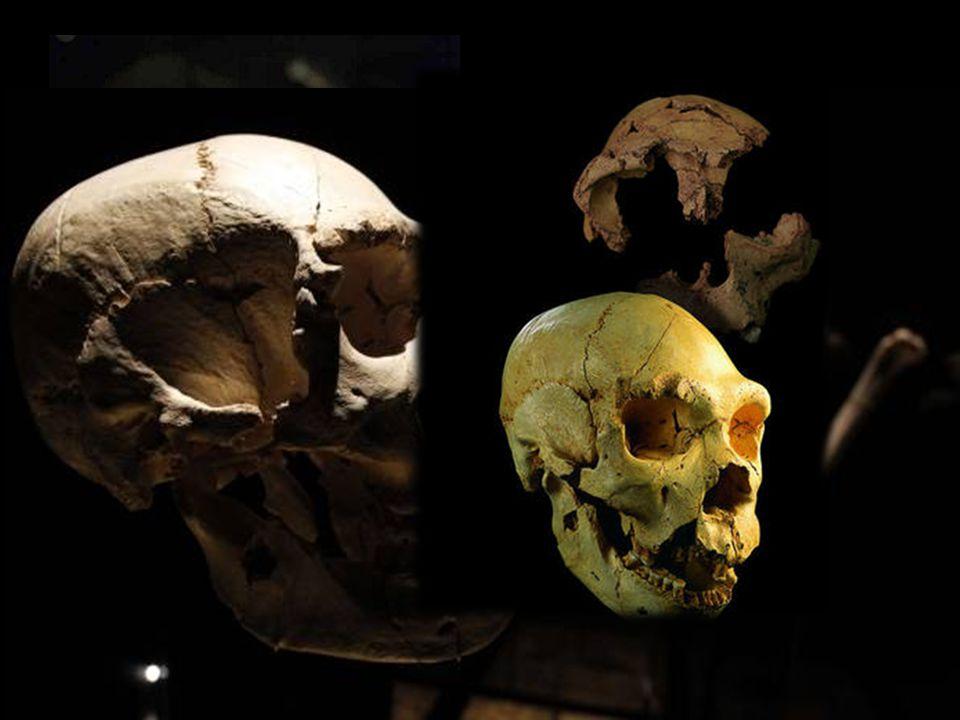 Miguelón Fue encontrado en 1992 en la Sima de los Huesos de Atapuerca