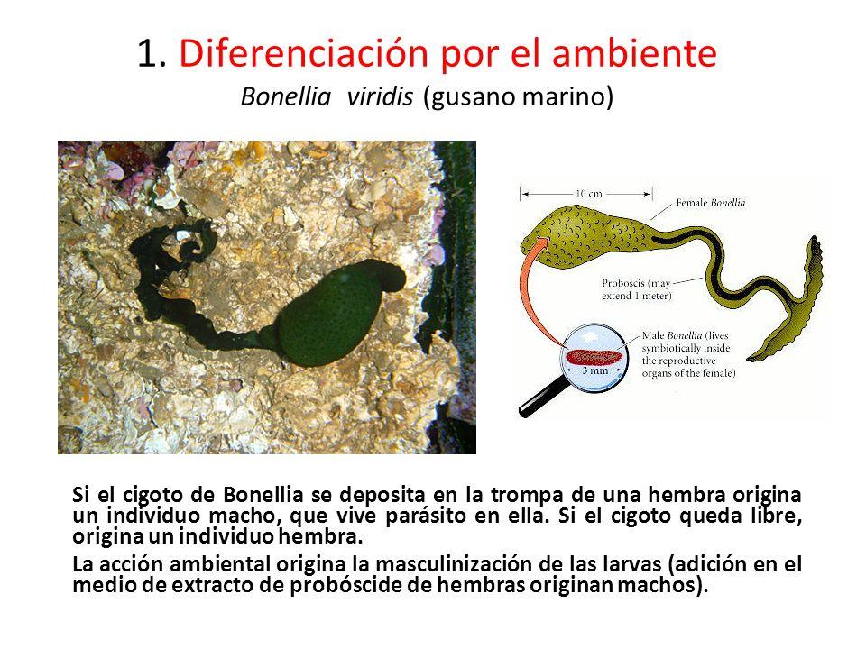 1. Diferenciación por el ambiente Bonellia viridis (gusano marino)