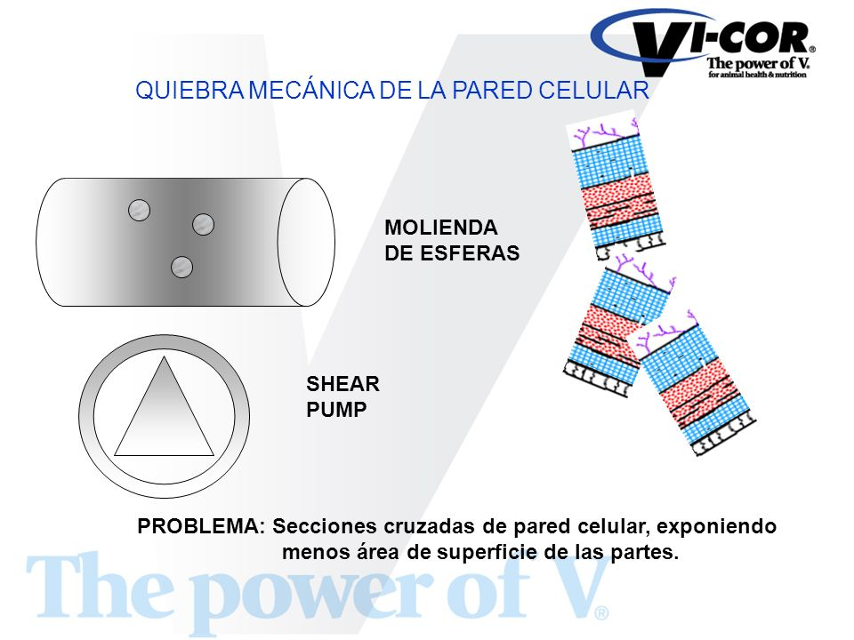 QUIEBRA MECÁNICA DE LA PARED CELULAR