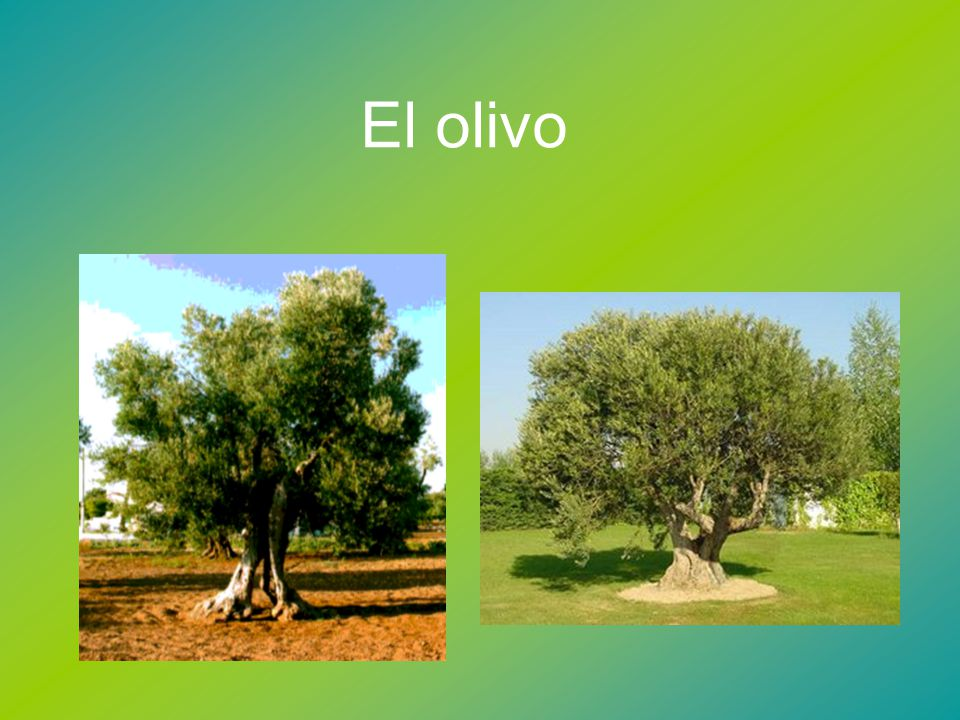 El olivo