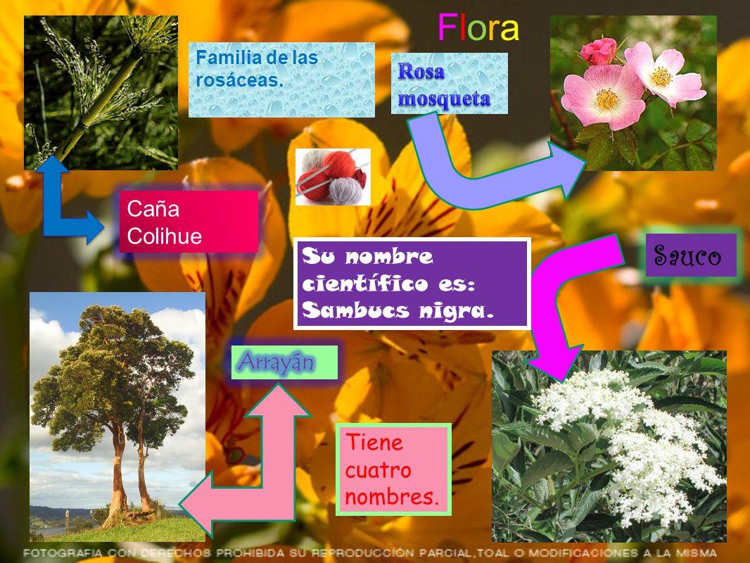 Flora Sauco Rosa mosqueta Caña Colihue