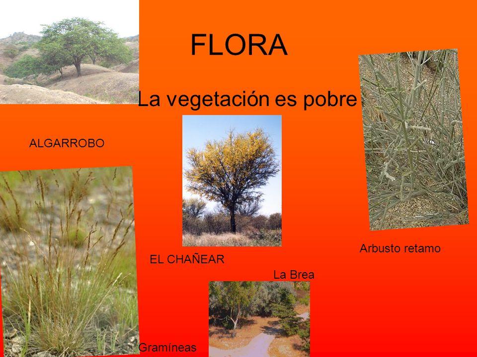 FLORA La vegetación es pobre ALGARROBO Arbusto retamo EL CHAÑEAR