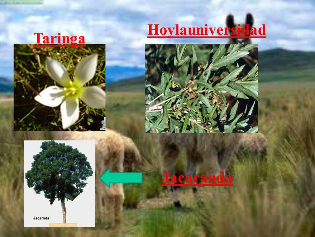 Hoylauniversidad Taringa Jacaranda