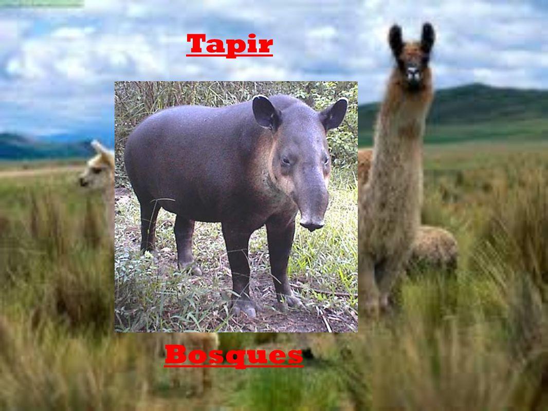 Tapir Bosques